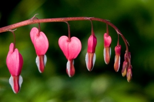 """Bleeding Hearts"" Plant"