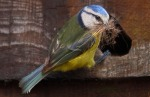 Nature Compeition - 3rd Place - 'Bluetit' © Michael McNulty