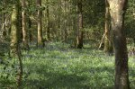 Landscape Competition – Bluebells © Suella Holland