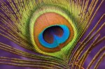 Macro/Close Up Competition – Peacock Feather © Suella Holland